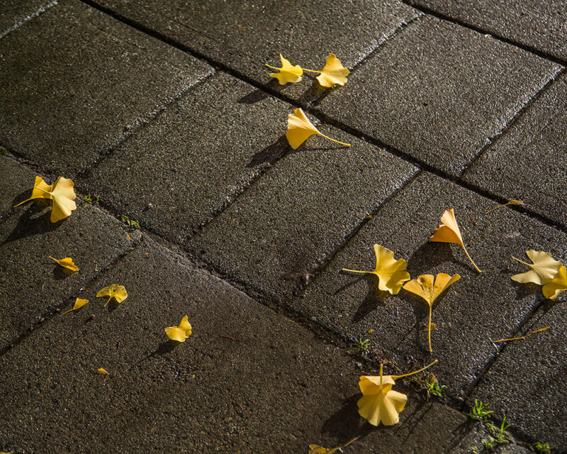 Fallen gingkos leaves of wet ground in Chinatown