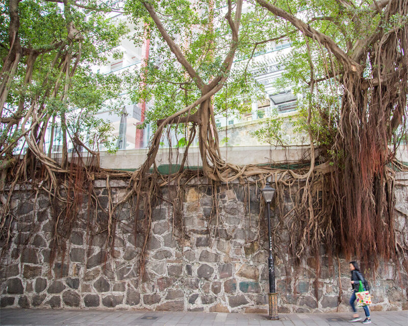 Trees grow out of masonry walls as a woman walks by, dwarfed by them